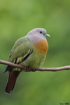 Pink necked Green Pigeon  Columbidae (Columbidae) Thailand's endemic bird species. Habitat: swamp, mangrove forests, beaches, orchards o...