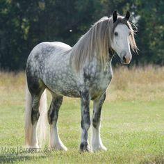 Dapple Gray Drum Horse Draft stallion