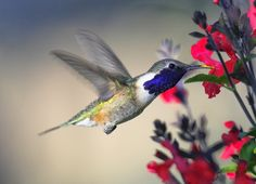Lucifer Hummingbird - Sierra Vista