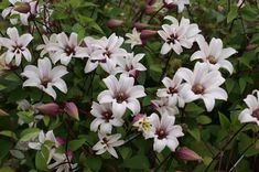 Buy clematis (group 3) Clematis Princess Kate ('Zoprika') (PBR): £19.99 Delivery by Crocus