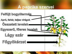 """Képtalálat a következőre: """"paprika növény virága"""" Montessori, Herbs, School, Red Peppers, Herb, Medicinal Plants"""