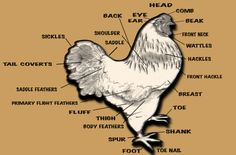 Chicken Facts, A list of facts on chickens for 4-H presentations