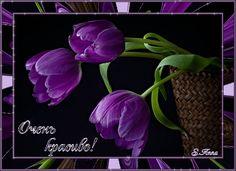 Black Tulips Flowers Nature Background Wallpapers on Desktop Purple Tulips, Purple Love, Tulips Flowers, All Things Purple, Flowers Nature, Shades Of Purple, Beautiful Flowers, Purple Stuff, Purple Rain