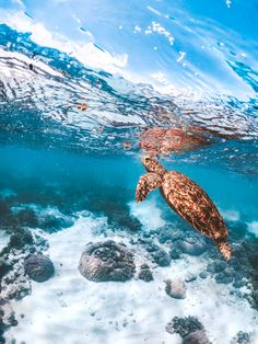 Getting Involved with Sea Turtle Conservation - I started my journey to help save the sea turtles off the small island of Gili Trawangan in Indones - Save The Sea Turtles, Baby Sea Turtles, Cute Turtles, Sea Turtle Painting, Sea Turtle Art, Ocean Turtle, Turtle Beach, Sea Turtle Wallpaper, Animal Wallpaper