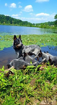 Australian Cattle Dogs, High quality AKC Red and Blue Heelers. One year health guarantee and health clearances. Whiteduck Heelers is located in Scranton, PA. 570-479-3976