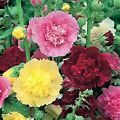 Hollyhock Carnival Mix- 50 Seeds - 50...