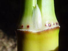 Phyllostachys viridis Bamboo Species, Fruit, The Fruit