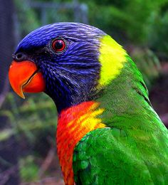 Rainbow Lorikeet by Kojo_46, via Flickr