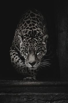 Great black and white animal picture Wild Animal Wallpaper, Leopard Wallpaper, Lion Wallpaper, Leopard Pictures, Animal Pictures, Cheetah Tattoo, Jaguar Tattoo, Animals And Pets, Cute Animals