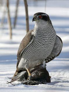 Northern goshawk by Alexander POPOV - Photo 146245467 - Love Birds, Beautiful Birds, Animals Beautiful, Eagles Tattoo, Northern Goshawk, Animals And Pets, Cute Animals, All Gods Creatures, Big Bird
