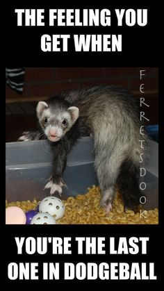 #ferrets #cute #animals #ferret #funny #for kids #forever #awesome #home #love #Ferrets Dook www.facebook.com/...