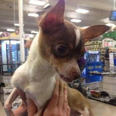Meet Reed, a Petfinder adoptable Chihuahua Dog | Fresno, CA | Thank you for considering a rescue dog!This is an indoor dog. We do not believe in adopting to...homes that will leave the dog outside all of the time. We want our dogs to become an important part of your family!