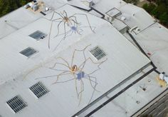 Daddy Long Legs spider in Seattle, USA 1