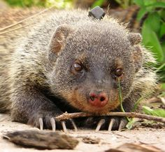 Animals are more eloquent than previously assumed. Even the monosyllabic call of the banded mongoose is structured and thus comparable with the vowel and consonant system of human speech. Behavioral biologists from the University of Zurich have thus become the first to demonstrate that animals communicate with even smaller sound units than syllables.