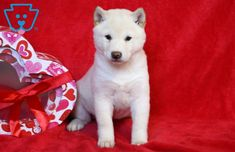 Look at this Gorgeous pup! She is a Shiba Inu ready to impress. This gal is as social as they come sure to draw attention everywhere you go. Siberian Husky Puppies, Husky Puppy, Siberian Huskies, Corgi Puppies, Equine Photography, Animal Photography, Baby Puppies For Sale, Cute Dogs, Cute Babies