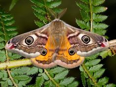 male emperor moth. my favorite kind of moth. i will soon have a tattoo based on these little guys. (my tattoo will actually be of a gender bending moth since it will be large and black and white like a female yet will also have long and wide fanned out antennae only found on a male.)