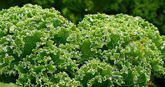 Les om grønnkål på balkong. Lær å lage grønnkålchips!