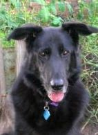 Sweetheart Grandma Dog who needs a home.....Duchess is an adoptable German Shepherd Dog Dog in Thomasville, NC. Duchess is a German Shepherd/Lab mix who is around 12-13 years old. This darling girl has had a rough life, but she has still mainta...