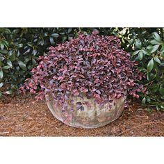 $12.98 - Shop Gallon Pink Purple Pixie Loropetalum (L23335) at Lowes.com