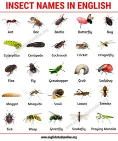 List of Insects: 25 Useful Insect Names with Pictures and Examples - English Stu. - Saines List of Insects: 25 Useful Insect Names with Pictures and Examples - English Stu. English Vocabulary List, English Writing Skills, Learn English Grammar, Learn English Words, English Idioms, English Language Learning, English Lessons, Teaching English, Vocabulary Pdf