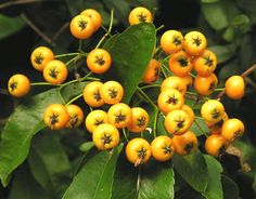Pyracantha 'Soleil d'Or' Planting, Turning, Berries, November, Earth, Fruit, Vegetables, Yellow, Style
