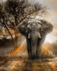 """funnywildlife: """"  Bull elephant at sunset in South Africa's Kruger National Park by Bull by George Veltchev """""""