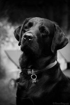 Faithful...Black Labs are the best! #labradorretriever