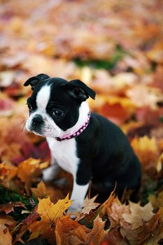 Boston Terrier Puppy Sitting In Leaves by Danielle D. Hughson on Getty Images