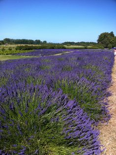 Lavender Farm outside of Seattle