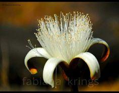 Flor do cerrado. Foto: Fabiana Krings