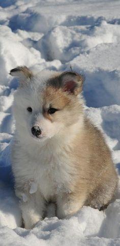 icelandic sheepdog puppy