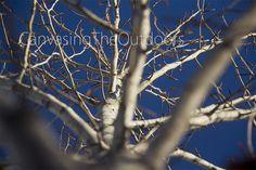 Birch Tree Canvas Wall Art