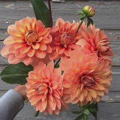 'Nicholas' was one of the first dahlias I grew that I knew was a total keeper. See, back when I started I was pretty clueless as to which varieties of dahlias were appropriate for cutting. I basically planted a new variety and just hoped for the best  After all these years, 'Nicholas' is still my favourite orange  #farmerflorist