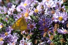 Gorgeous lavendar asters with butterfly.