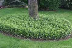 pachysandra... I have this is my yard and wonder if I dug some up and replanted will it spread?
