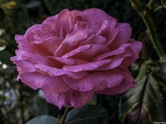 Feliz-Quinta Flower