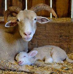 Tunis koyun ile yavru (Kuzey Amerika ,seyrek görülür)