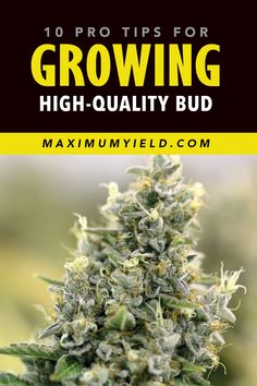 Planting weed and getting it to grow is generally not a complicated process and can be done by anyone. However, plant growth rate and size are not the things that determine the value, it's the buds. Here's what you need to know in order to grow great bud. Cannabis Growing, Weed Facts, Marijuana Facts, Cannabis Edibles, Cannabis Plant, Growing Weed Indoors, Cannabis Cultivation, Medical Cannabis, Hemp