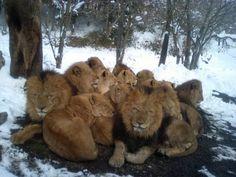 Google Afbeeldingen resultaat voor http://lionspictures.net/lions-in-the-snow.jpg