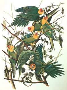 "Carolina Parakeet Vintage Audubon Bird Print Fowl Animal Lithograph Natural History To Frame  12"" x 9"" Room Decor Art, Audubon Print, bird by MushkaVintage3 on Etsy"