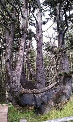Octopus Tree, Oregon Coast