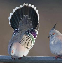 Crested Pigeons - The Crested Pigeon is found widely throughout mainland Australia except for the far northern tropical areas. It is the only member of the genus Ocyphaps