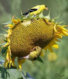 Tips for attracting the American Goldfinch to your backyard: Black Oil Sunflower Seeds, Sunflower Garden, Heated Bird Bath, Bird House Kits, Sunflower Wallpaper, Birds And The Bees, How To Attract Birds, Tier Fotos, Funny Animals