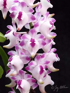 #Aerides lawrenceae is found in the Phillipines at low elevations. The large spurred flowers are produced on pendant inflorescences in the summer to fall months. Like other members of the genus, it offers a delicious citrus fragrance