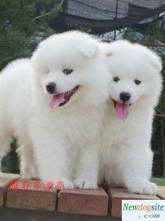 simoid dogs | Samoyed baby - samoyed puppies pictures - djxbj60717