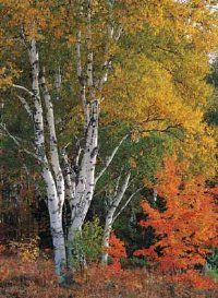 White Paper Bark Birch - I love this tree - lots in New England
