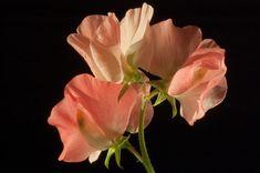 Lathyrus odoratus 'Mammoth Salmon Cream' Old-Fashioned Sweet Pea Sweet Pea Flowers, Peach Flowers, Amazing Flowers, Beautiful Flowers, Taupe Wedding, Green Wedding, Sweet Pea Seeds, Annual Flowers, Creative Colour