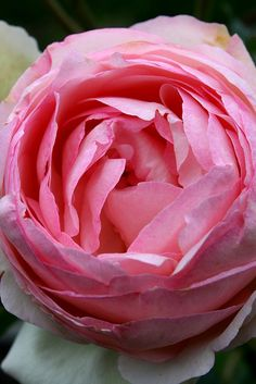 "Rose Willestrup ""Eden Rose"""