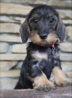 Teckel pup dogs and puppies Dachshund Breed, Long Haired Dachshund, Dachshund Love, Daschund, Dapple Dachshund, Cute Puppies, Cute Dogs, Dogs And Puppies, Sweet Dogs