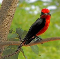 Aves venezolanas- Sangre de toro